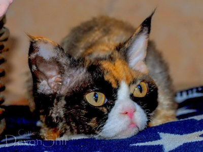 Devon Rex Curly Time Funny 03