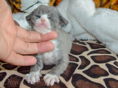 Devon Rex Curly Elfe Feerique Taddy 008