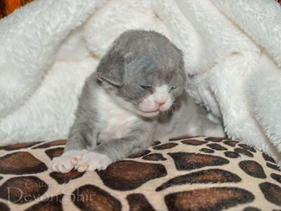 Devon Rex Curly Elfe Feerique Taddy 011