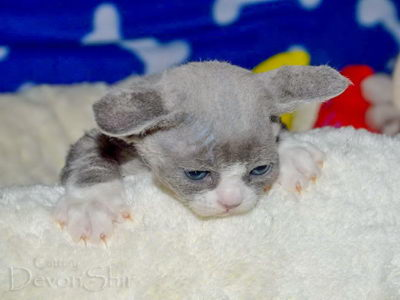 Devon Rex Curly Elfe Feerique Taddy 015