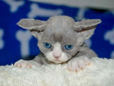 Devon Rex Curly Elfe Feerique Taddy 017