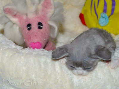 Devon Rex Curly Elfe Feerique Taddy 019