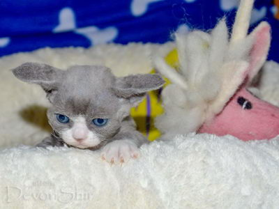 Devon Rex Curly Elfe Feerique Taddy 020