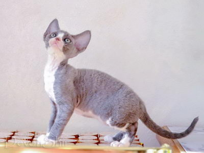 Devon Rex Curly Elfe Feerique Taddy 024