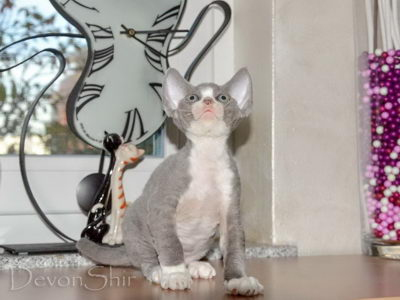 Devon Rex Curly Elfe Feerique Taddy 025