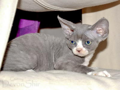 Devon Rex Curly Elfe Feerique Taddy 027