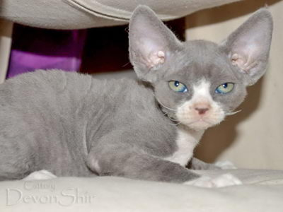 Devon Rex Curly Elfe Feerique Taddy 029