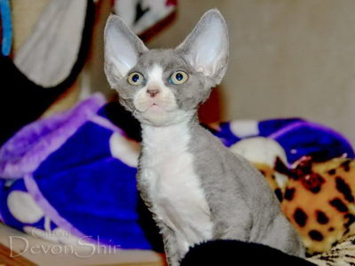 Devon Rex Curly Elfe Feerique Taddy 030