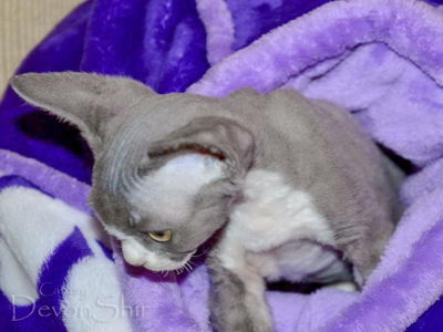 Devon Rex Curly Elfe Feerique Taddy 031