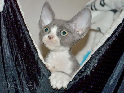 Devon Rex Curly Elfe Feerique Taddy 032